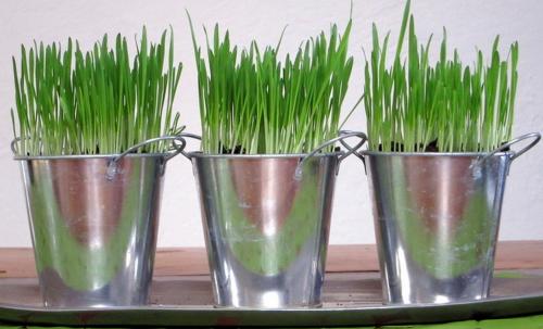 baldes de hierba para gato